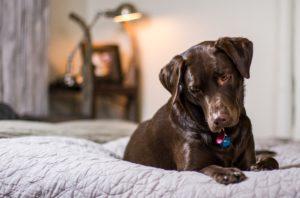 ベッドのに座る犬