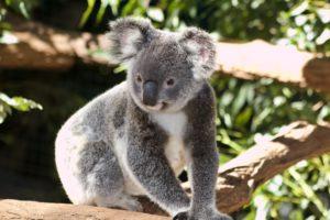 何かに注目しているコアラ